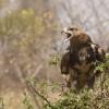 Tawny Eagle angry…