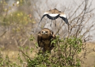 to be attacked by a Lapwing