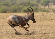 One of the fastest antilope