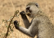 Vervet Monkey eating leaves