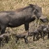 Warthog and 4 piglets