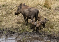 Warthog with piglets