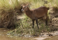 Waterbuck – female