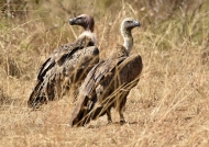 White-backed Vultures