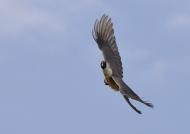 White-bellied Go-away Bird
