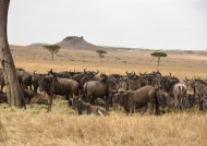 Big family of Wildebeests