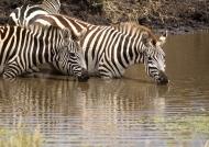 Common Zebras drinking