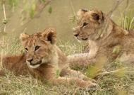 Lion cubs around 7 months