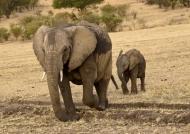 Elephant walking with baby