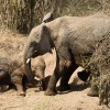 Baby Elephant tired