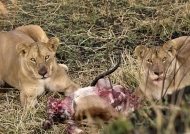 Lioness staring at us greedily