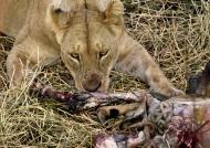 Lioness feeding on an Impala