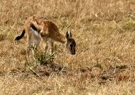 Thomson's Gazelle – calf