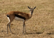 Thomson's Gazelle – female