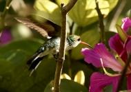 Vervain Hummingbird-endem.