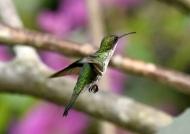 Vervain Hummingbird