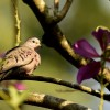 Common Ground Dove-endem.