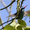 Red-billed Streamertail – m.