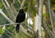 Greater Antillean Grackle-en.