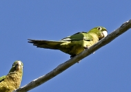 Olive-throated Parakeets-end.
