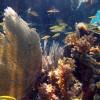Common sea fan