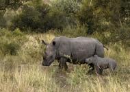 White Rhino f. with baby