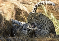 then playing with her cub…