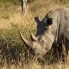 White Rhino – f.