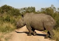 Huge White Rhino crossing