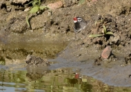 African Quailfinch