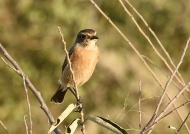 African Stonechat-female