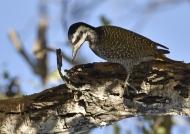 Bearded Woodpecker-female