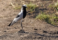 Blacksmith Lapwing – f.
