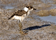 Blacksmith Lapwing  – chick
