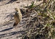 Bushveld Pipit