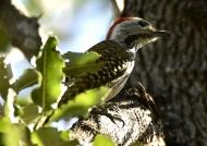 Cardinal Woodpecker – m.