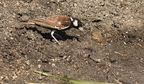 Chest.-bck. Sparrow Lark – m