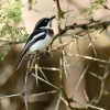 Chinspot Batis – female