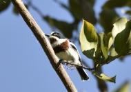 Chinspot Batis – female