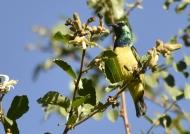 Collared Sunbird – m.