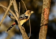 Crested Barbet – male