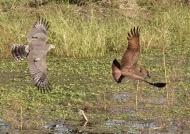 & chasing the Hamerkop