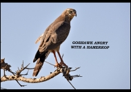 Dark Chanting Goshawk – juv