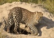 Leopard  m. looking around