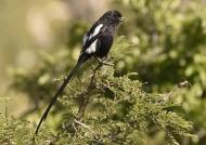 Magpie Shrike