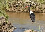 Saddle-billed Stork-male