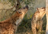 Hyenas smelling at meat