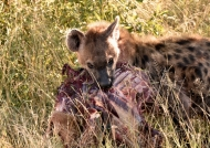 Spotted Hyena rewarded!