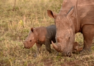 Female Rhino with baby