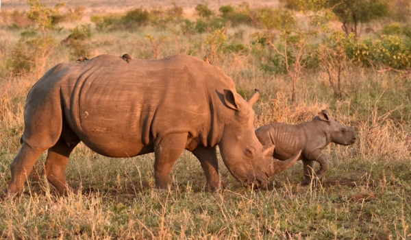 Female Rhino with baby